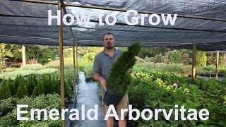 How to grow Emerald Arborvitae (Thuja occidentalis 'Smaragd') with detailed description