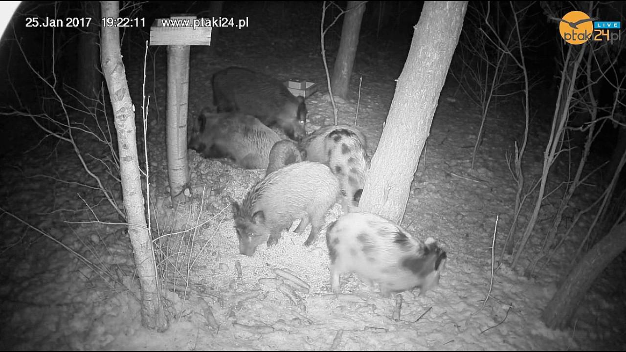 Dziki i Dziki Łaciate w karmisku w lesie na Podkarpaciu