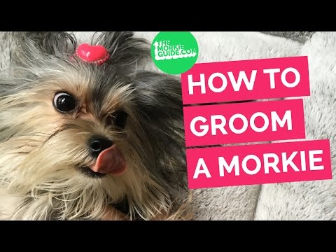 How To Groom A MORKIE  Dog