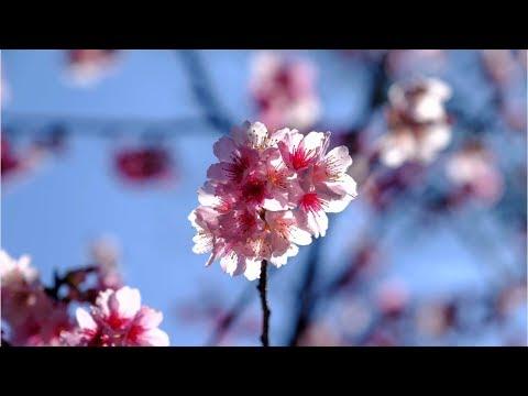 How Japan forecasts its cherry blossom season