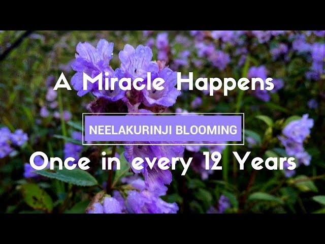 Neelakurinji - a Flower which blooms once in 12 years at Munnar, Kerala 2018
