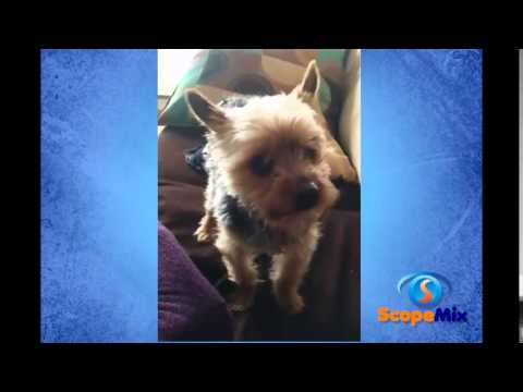 Funny Tiny Dog Try To Talk
