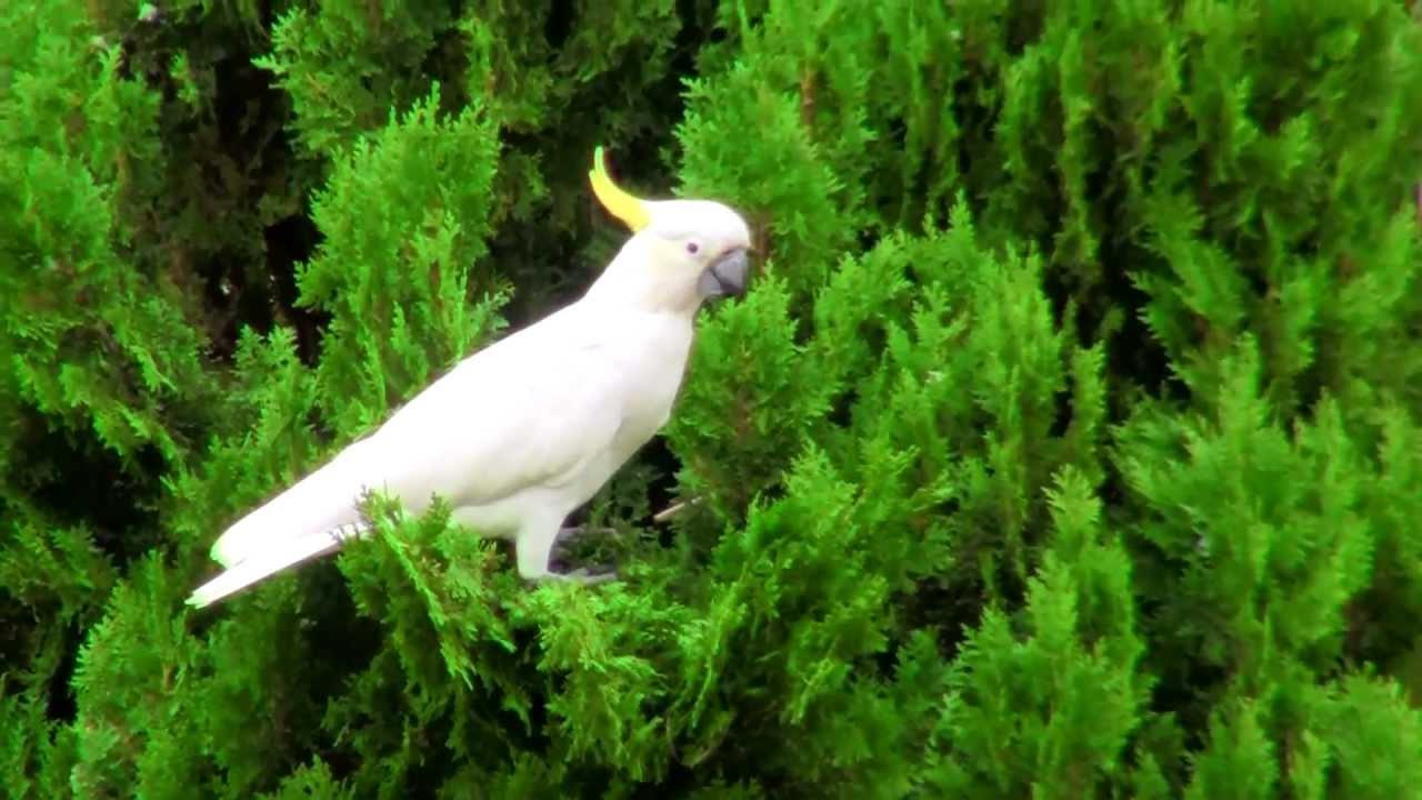 kakatua bird