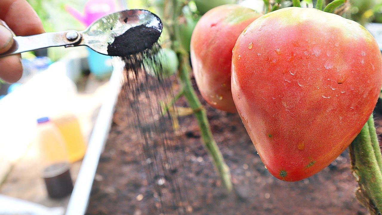 Вот почему у соседа томаты с голову! Посоветовал в июле-августе сыпать этот порошок под кустики!