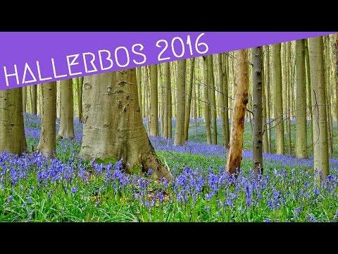 Bluebells Hallerbos Belgium 2016 | World Wanderista