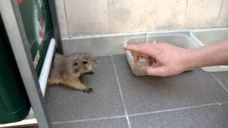Funny Animal - Prairie Dog Tries To Steal Dog Food And Gets Angry