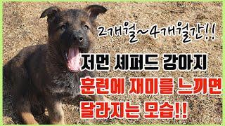 [강아지]저먼 셰퍼드 강아지가 훈련에 집중하게 되어가는…