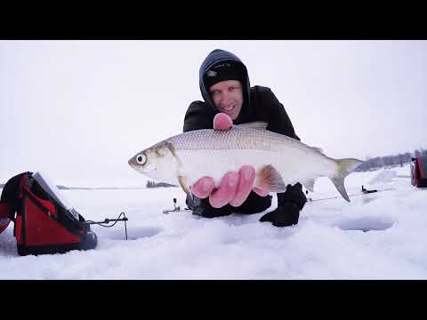 Ice Fishing Late Season Minnesota Tullibees For The First Time
