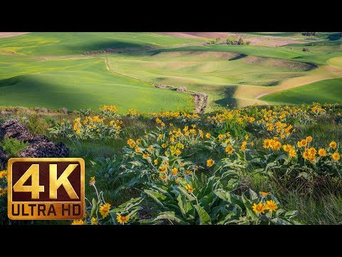 Yellow Spring Flowers At Steptoe Butte State Park - 4K Spring Relax Video - 7 Hours Video