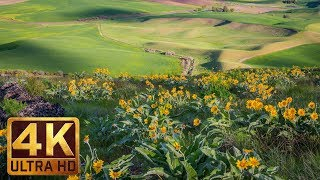Yellow Spring Flowers at Steptoe Butte State Park - 4K Spring Relax Video - 7 Hours Video screenshot 3