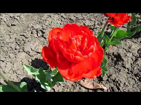Миранда махровый тюльпан
