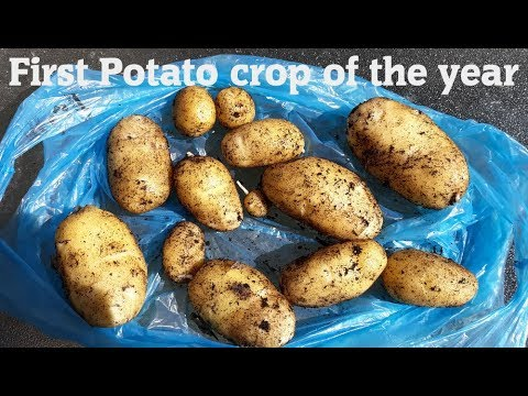 Allotment Diary : First Container Potato Harvest of the year.