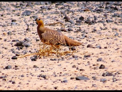 Birds of Morocco: Crowned sandgrouse قطا متوجة