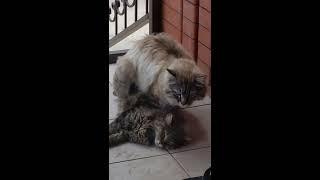 Кот затрахал кошку до полусмерти)