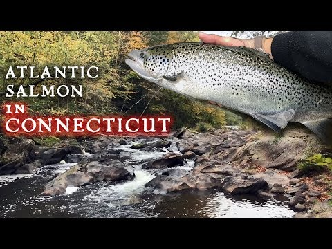 Atlantic Salmon Fishing In Connecticut Waters