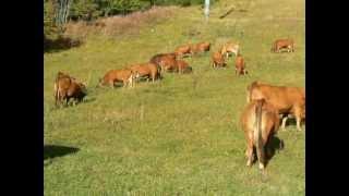 le troupeau à plan-peisey