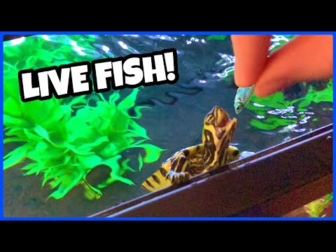 PET TURTLE Eats LIVE FISH For The First Time!