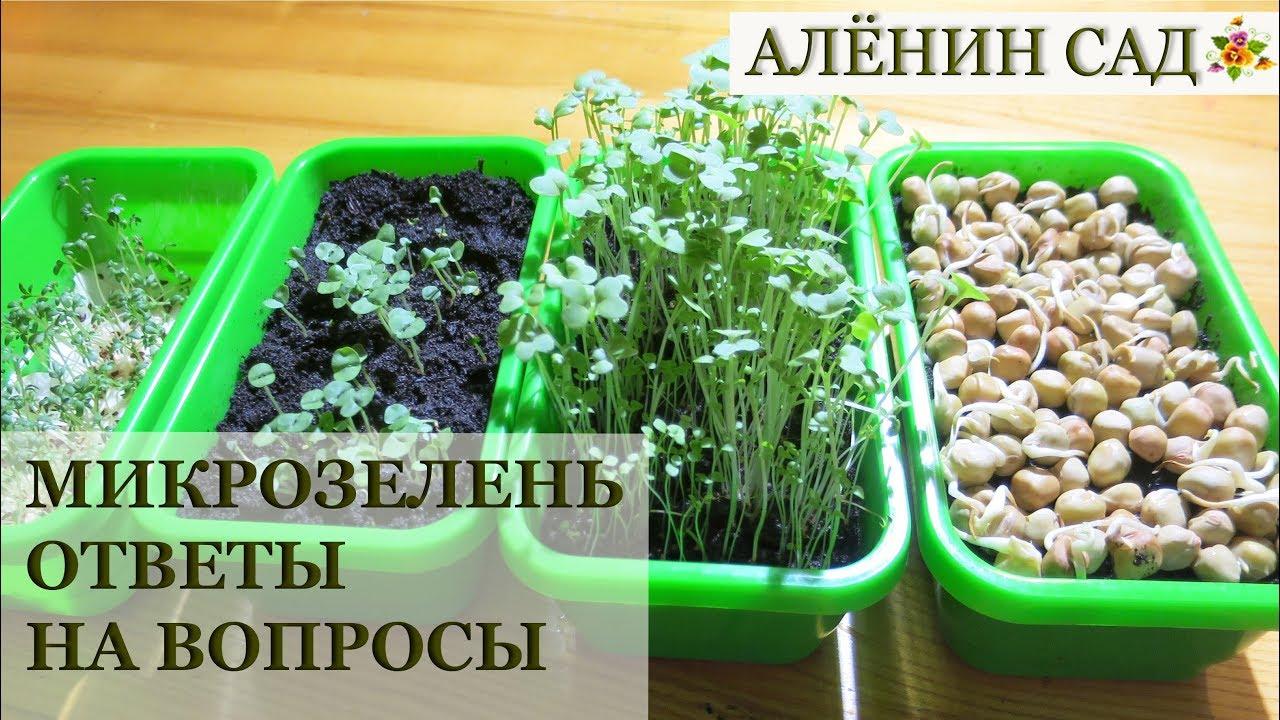 МИКРОЗЕЛЕНЬ Ответы на вопросы! / Отличие от проростков / Questions about microgreens