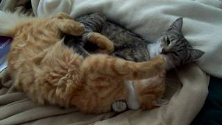 Cats licking each other to sleep (High Definition)