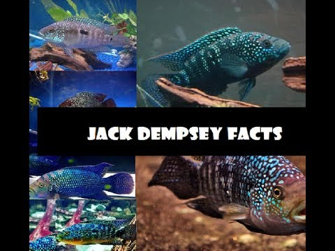 12 facts about Jack Dempsey fish you should know !