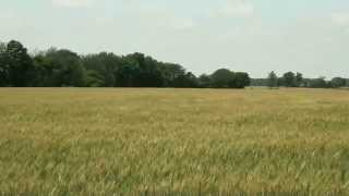 Wheat Fields Waving - Free Creative Commons 1080p HD stock video footage