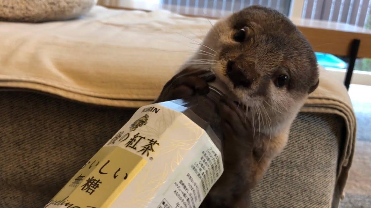 カワウソさくら ペットボトルでは子猫の気を引けなかったカワウソ otter inviting a kitten to play with a plastic bottle