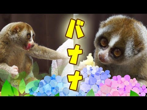バナナなスローロリス(こじろう&りんころもち)#245