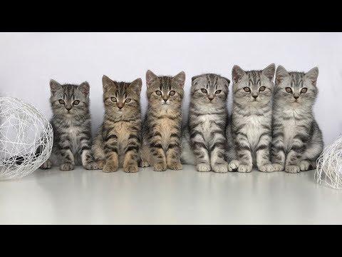Котята шотландской вислоухой 1-2 месяца. Kittens scottish fold and scottish straight.