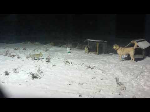 Yaramaz  tilkinin Kangal köpeği ile oyunu