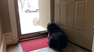 Standard Schnauzer anxiously waiting to welcome home family.