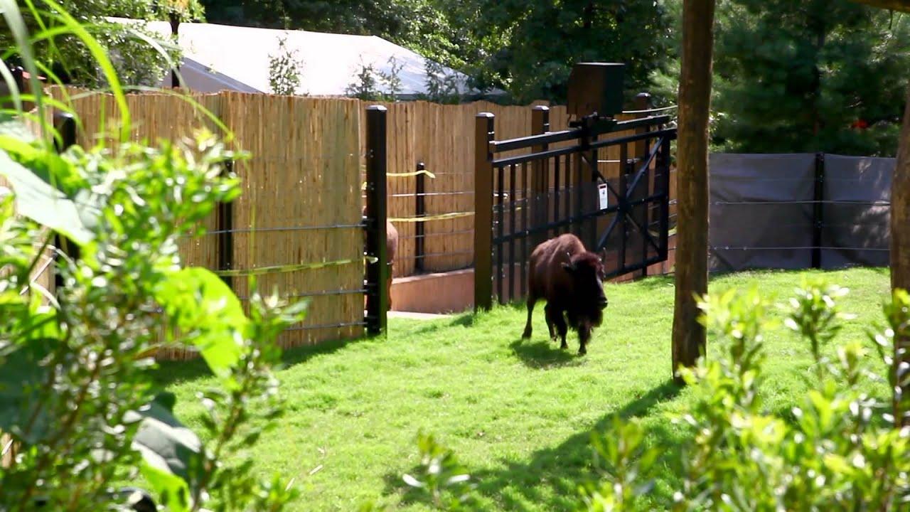 American Bison Return to Smithsonian's National Zoo - YouTube