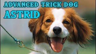 Astrid the Kooikerhondje  AKC Advanced Trick Dog