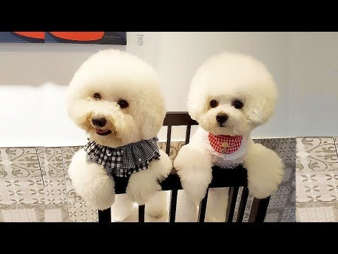 Cute Bichon Frise Puppies Video Compilation