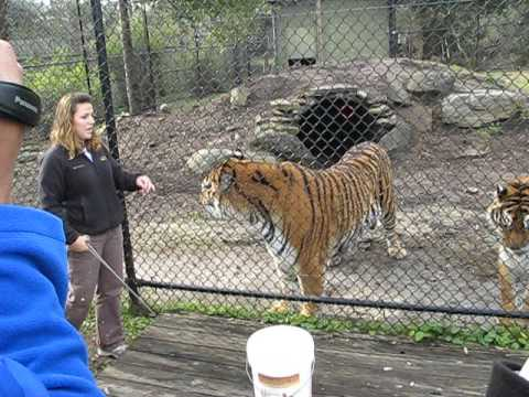 Siberian Tigers In North Myrtle Beach S C Youtube