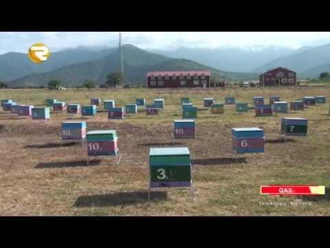 Boz Qafqaz cins arı növü artırılır