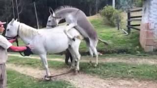 Заплідненя Осеол Коня