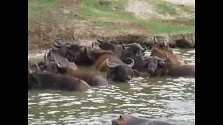 Troupeau de buffles et d'hippopotames en Ouganda | Meltour