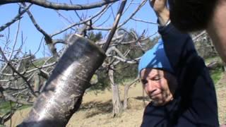 Repeat youtube video Innesto a corona ciliegio - Bucchianico