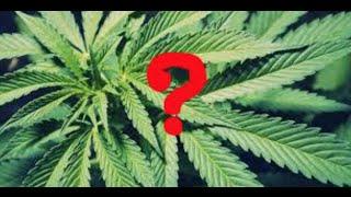 Can smoking weed make you go insane?  Should you smoke? (Panic Attacks)