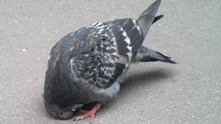 demonic pigeon (Newcastle disease)