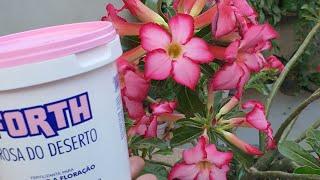 Como Fazer a Rosa do Deserto Produzir Muitas Flores e Que Adubo Usar