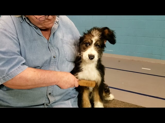 Bernerdoodle puppy learns how to tolerate grooming and handling