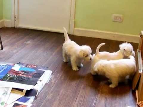 Cachorros West Highland White Terrier - Westy - Westie - Terrier Blanco ZUZUKA Videos De Viajes