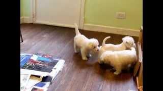 Cachorros West Highland White Terrier - Westy - Westie - Terrier Blanco Zuzuka