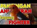 Anis Merah Fighter Gacor Ampuh Untuk Memancing Birahi  Mp3 - Mp4 Download