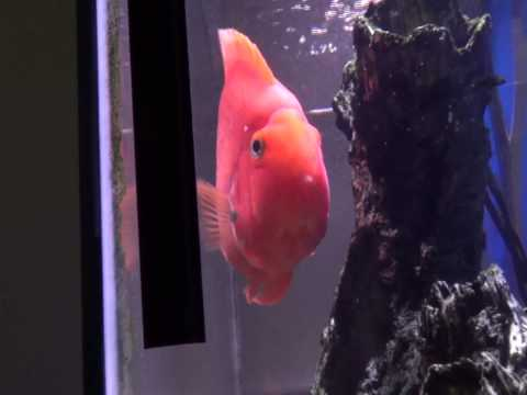 Pumpkin The Five Year Old Blood Parrot Cichlid