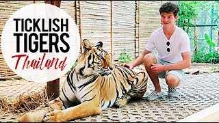 Ticklish Tigers: Tiger Kingdom Chiang Mai, Thailand