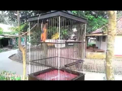 Pleci Dakun Bali Rasa Dakun Lokal/Jawa