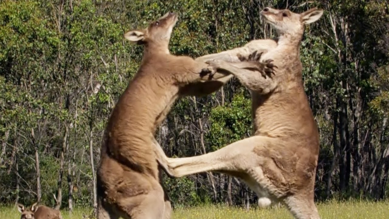 Download Filming Kangaroos Boxing Each Other   Wild Stories   BBC Earth