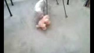 dogo argentino hunts wild boar